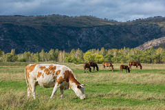 Grazing cow in mountain ranch. Altay Russia Stock Photo