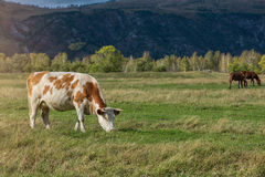 Grazing cow in mountain ranch. Altay Russia Royalty Free Stock Image