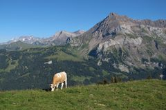 Grazing cow and mountain Royalty Free Stock Images