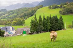Grazing cow in the mountains near village, France. Cattle farm in mountains. Cow on pasture. Panoramic rural landscape.