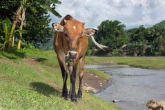 Grazing cow near tropical river Stock Photography