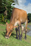 Grazing cow near tropical river Royalty Free Stock Images