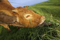 Grazing cow in Normandy Royalty Free Stock Photography