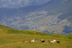 Grazing Cow On Green Meadow In Caucasus Mountains Stock Photography