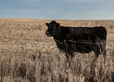 Grazing cow in an open corn field. Black cow standing by a barb wire fence Royalty Free Stock Images
