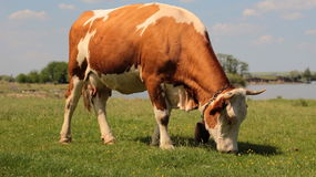 Grazing cow on the pasture. The grazing cow on the pasture Royalty Free Stock Image