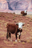 Grazing cow portrait. Photo of a cow looking at viewer in desert environment with second cow in background Royalty Free Stock Photos