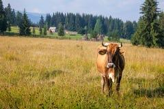 Grazing cow in Romania Stock Photos