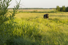 Grazing cow. Grazing single cow on summer green meadow in wild Royalty Free Stock Photo