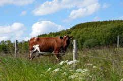 Grazing cow. In summer sunshine Stock Photo