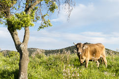 Grazing cow beside a tree Stock Photography