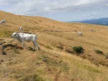 Grazing Chianina breed cows. Grazing cows in the mountains of Tuscany Royalty Free Stock Photos