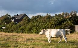 Grazing cow Royalty Free Stock Photography