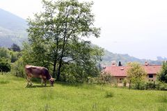 Grazing cow under tree Royalty Free Stock Images