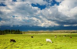 Grazing cows stock photo
