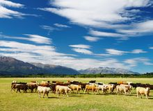 Grazing cows. Rural landscape with cows herd, New Zealand Stock Images