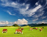 Grazing cows Royalty Free Stock Images