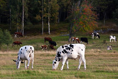 Grazing cows Stock Photography