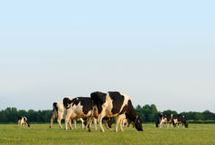 Grazing cows. Herd of grazing cows in a flat Dutch landscape near sunset, with copyspace Royalty Free Stock Image