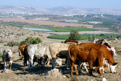 Grazing cows. High on hill Royalty Free Stock Images