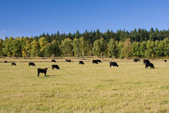 Grazing cows. Beautiful autumn landscape with grazing cows Royalty Free Stock Images