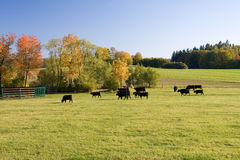Grazing cows. Beautiful autumn landscape with grazing cows Stock Images