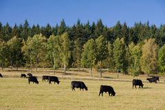 Grazing cows. Beautiful autumn landscape with grazing cows Stock Photo
