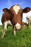 Grazing cows. Close up of a cow in a field of grass, seeing from a low angle Royalty Free Stock Photos
