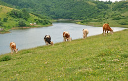 Grazing cows above the lake of Uvac. Panoramic scene of grazing cows above the lake of Uvac at the Pester Plateau, karst region in southwestern Serbia. It Royalty Free Stock Image