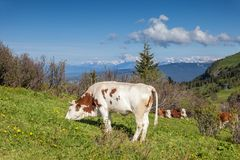 Grazing cows on the Alpe di Siusi Royalty Free Stock Photos