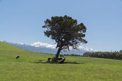 Grazing cows around tree. New Zealand Royalty Free Stock Image