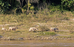 Grazing Cows On The Banks Of The Mekong. In Laos Stock Image