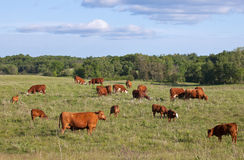 Grazing Cows and Calves Stock Images