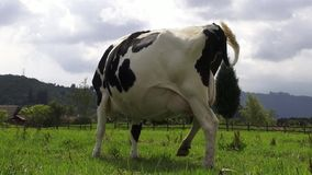 Grazing, Cows, Cattle, Farm Animals