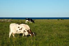 Grazing cows in a coastal pasture land Stock Image