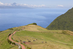 Grazing cows in the countryside. Sao Jorge island. Azores. Portu Royalty Free Stock Image