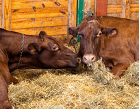 Dairy cows in a barn eating hay Stock Photo