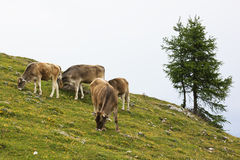 Grazing cows at Dobrac, Carinthia, Austria Royalty Free Stock Photos