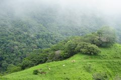 Grazing cows dot the bucolic hillsides of Puntarenas Province in Costa Rica. stock images