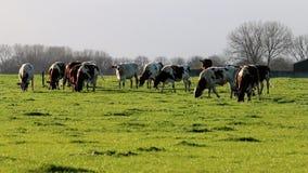 Grazing cows in dutch landscape, Voorstonden Stock Image