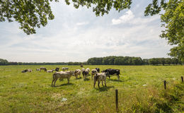 Grazing cows in a Dutch meadow Stock Photo