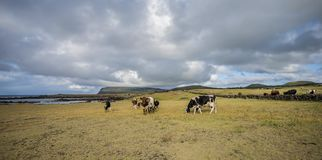 Grazing cows on Easter Island stock images