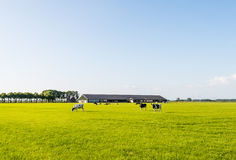Grazing cows on a flat pasture. Stock Image