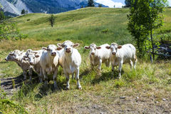 Grazing cows in the french alps Stock Photo