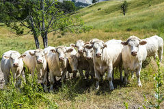 Grazing cows in the french alps Stock Photos