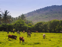 Grazing Cows in Goa, India Royalty Free Stock Photography
