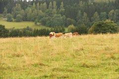 Grazing cows Stock Photos
