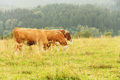 Grazing cows Royalty Free Stock Photo