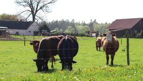 Grazing cows on a green field stock video