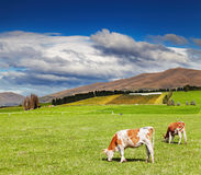 Grazing cows at green field Stock Photo